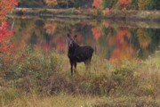 photo of moose near the Pontook Reservoir, Dummer, NH